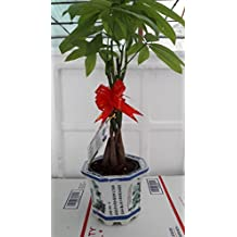 "Braided Money Tree - Pachira - 4"" Pot With vase lucky"