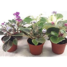 "Miniature African Violet - 5 Plants/2"" Pot - Great for Terrariums/Fairy Gardens unique from Jmbamboo"