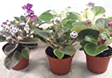 Miniature African Violet - 5 Plants/2'' Pot - Great for Terrariums/Fairy Gardens unique from Jmbamboo