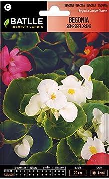 Semillas de Flores - Begonia Semperflorens variada - Batlle