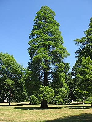 12 Seeds Bald Cypress (Taxodium distichum) Southern Strain Hard Wood Swamp Tree