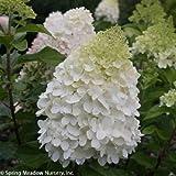 "Pillow Talk Hardy Hydrangea - 4"" Pot - Hydrangea paniculata"