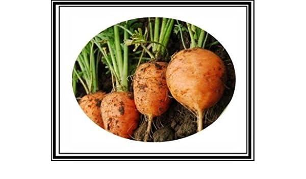 Parisian Market Type US Grown 3000 Atlas Round Carrot Seeds ~Cute Baby Carrots