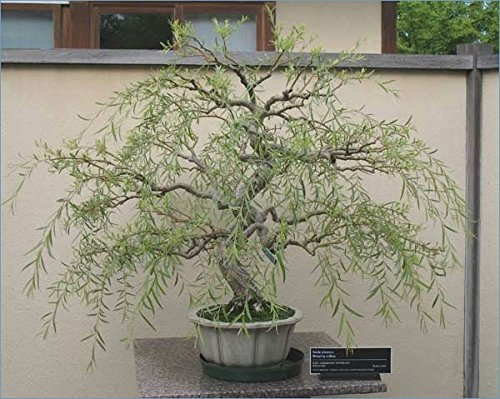 Bonsai Dragon Willow Tree - Large Thick Trunk - Fast Growing Indoor/Outdoor Bonsai Tree Cutting - Ships Bare Root ()