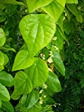 25 seeds Suong sam long,Tropical Herb Natural Green vine Jelly plant seeds Cyclea barbata