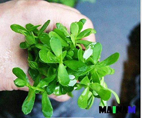 Майнам Moneywort Bacopa Monnieri Bundle Live Аквариумное Растение для Пресноводных Аквариумов Украшение 3 Дня Гарантированная Live