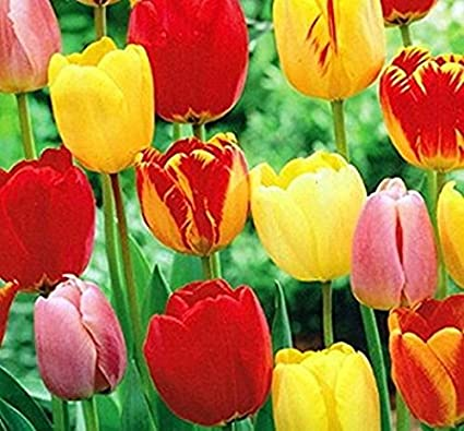 These Are Our Tulips Today >> Amazon Com Nianyan 10 Mixed Colors Tulip Bulbs Early Bloom