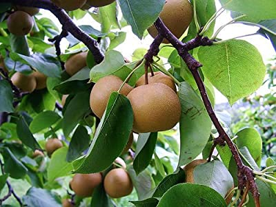 Asian Korean Sand Pear, Pyrus Pyrifolia Live Tree Seeds