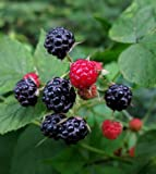 buy 1 Bare Root of Wild Black Raspberry Live Plant, Fruit Jelly Wine Bush/Shrub now, new 2019-2018 bestseller, review and Photo, best price