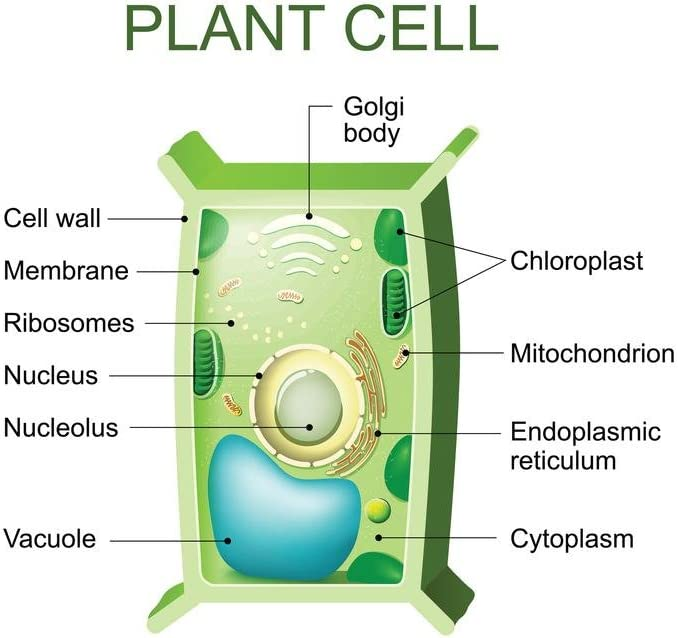 Wiring And Diagram: Labeled Chloroplast In Plant Cell