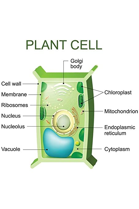 amazon com: plant cell anatomy labeled chart diagram mural giant poster  36x54 inch: home & kitchen