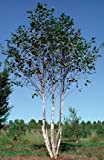 City Slicker Birch> Betula nigra 'Whit XXV'> Landscape Ready 5 gallon Container