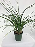 "Jmbamboo -Ponytail Palm - 4"" Pot - Beaucarnea - Great Indoors!"