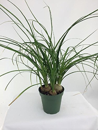 (Jmbamboo -Ponytail Palm - 4