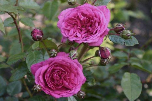 Laguna/® Topf Container Rose im 5 ltr