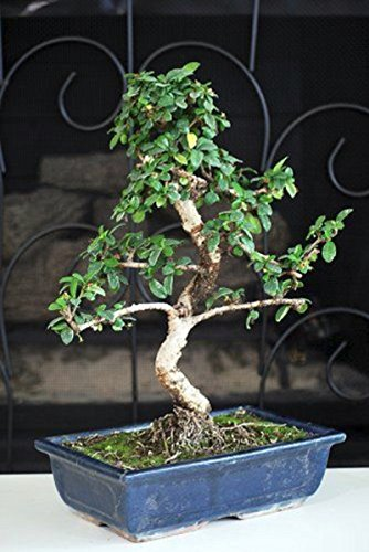 - Hot Sale! Fukien Tea Bonsai with 6