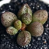 Live Fat Succulent Plant Mini Succulents (Adromischus marianiae)