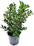 Ilex X meserveae 'Blue Prince' (Blue Holly) Evergreen, 2 - Size Container
