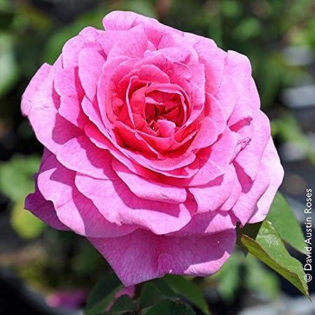 Englische Rose Gertrude Jekyll im 7 Liter Rosentopf