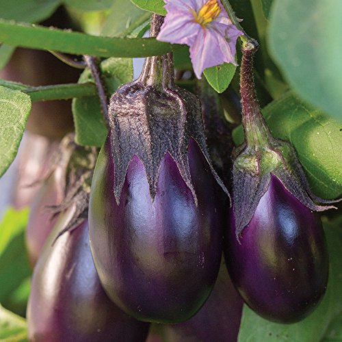 (Burpee Patio Baby Eggplant Seeds 30)