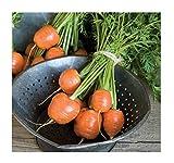 buy David's Garden Seeds Carrot Atlas SV3822 (Orange) 500 Open Pollinated Seeds now, new 2020-2019 bestseller, review and Photo, best price $7.95