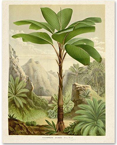 Verschaffeltia Splendida Palm Botanical Illustration - 11x14 Unframed Art Print - Makes a Great Wall Decor for Bathrooms and Bedrooms Under $15 (Antique Palm Frame Art Print)
