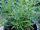 Summer Savory - 100 Seeds Heirloom Non-GMO Herb Seeds by Zellajake