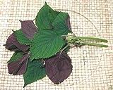 1000 Vietnamese Perilla Seeds (Perilla Frutescens) Warm season annual,Asian herb