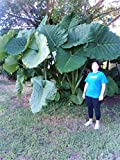 Two Strong and Healthy Emeritus Gardens Elephant Ear, Alocasia Macrorrhiza, Plants