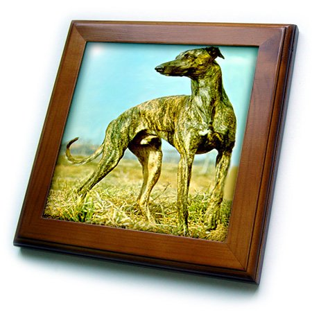 3dRose Dogs Greyhound - Brindle Greyhound - 8x8 Framed Tile (ft_484_1)