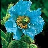 400 PERSIAN BLUE POPPY Papaver Somniferum Flower Seeds