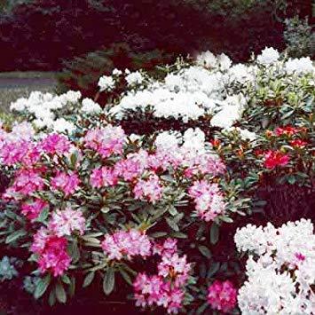 Rhododendron Hybrid - VISA STORE Seeds - Rhododendron Yakushimanum Hybrids Seeds