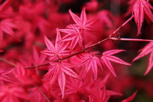 (20 Seeds Passionate Japanese Red Maple Leaf Plants)