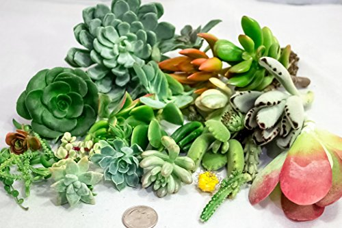 15-assorted-succulent-cuttings-no-2-cuttings-alike-great-for-terrariums-mini-gardens-and-as-starter-