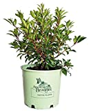 American Beauties Native Plants - Kalmia lat. 'Pink Charm' (Mountain Laurel) Evergreen, deep pink flowers, #3 - Size Container