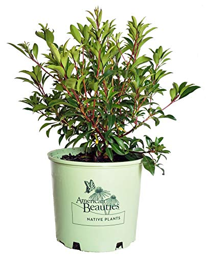 American Beauties Native Plants - Kalmia lat. 'Pink Charm' (Mountain Laurel) Evergreen, deep pink flowers, #3 - Size Container by Green Promise Farms (Image #2)