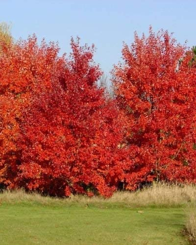 Amazon Com Acer Rubrum October Glory Red Maple Tree Seeds