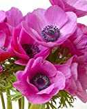 Anemone Flower Bulbs Different Colors Perennials Summer Blooming