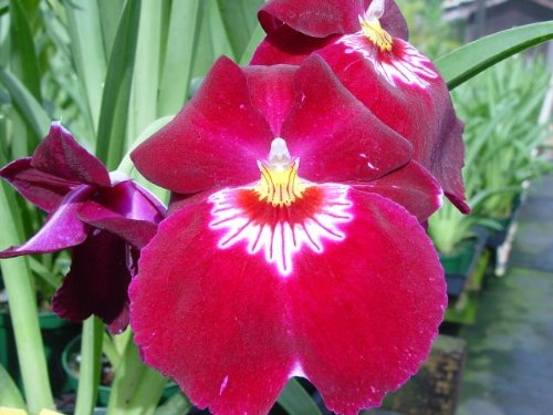 Miltoniopsis Bert Field red orchid blooming size