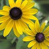 Black-Eyed Susan (Rudbeckia hirta) Seed Balls, Fall or Spring Planting, Bulk Seed Bombs (1000)