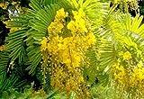 Peltophorum Pterocarpum, Ferrugineum Copper Pod Tree 100 Seeds, Fragrant