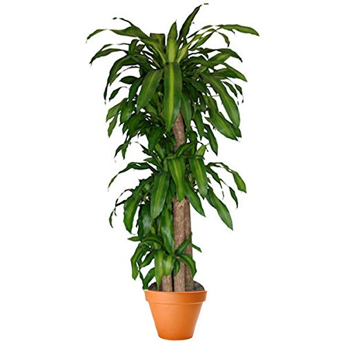 PlantShed - Corn Plant - Plant Hand Delivery in NYC Indoor Plants Houseplants by Plantshed