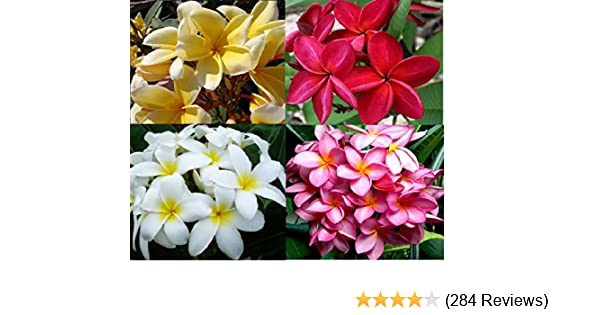 Amazon set of 4 100 hawaiian plumeria frangipani plant amazon set of 4 100 hawaiian plumeria frangipani plant cuttingsom a pest free certified hawaiian nursery with the proper us department of mightylinksfo