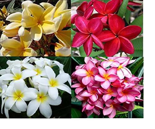 Tropical Plant Nursery (Set of 4 100% Hawaiian Plumeria (Frangipani) Plant Cuttings....From a PEST-FREE certified Hawaiian nursery with the proper U.S. Department of Agriculture stamp.)