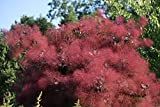 New PURPLE SMOKE TREE Shrub Smokebush Cotinus Coggygria Rhus Cotinus Sumach 30+ Seeds