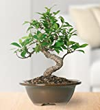 "Brussels Live Golden Gate Ficus Indoor Bonsai Tree - 4 Years Old; 5"" to 8"" Tall with Decorative Container"