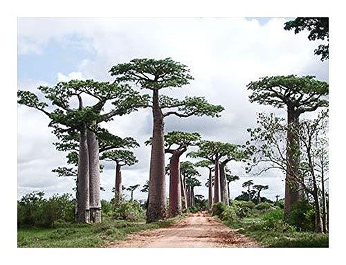 Exotic Plants Adansonia perrieri - Perrieri Baobab - 15 seeds