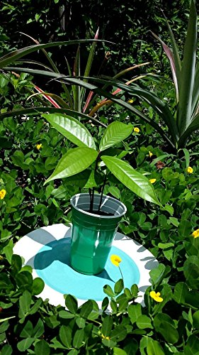 Mountain Apple (Red Mountain Apple Syzygium Malaccense Plant Tree Seedling FROM HAWAII 7-12