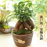インテリア盆栽: がじゅまる(多幸の樹)*茶鉢