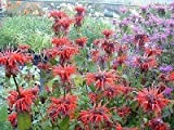 MONARDA 'CAMBRIDGE SCARLET' - BEEBALM - STARTER PLANT